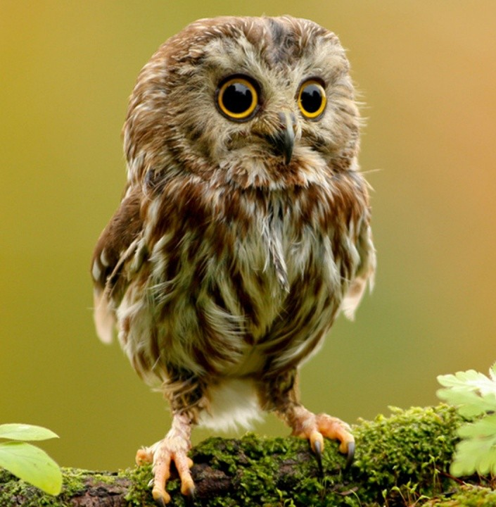 cute_owl-wallpaper-1152x720